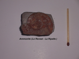 Ammonite Revest La Ripelle