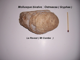 Ostreacea Gryphae Revest Mont-Combe